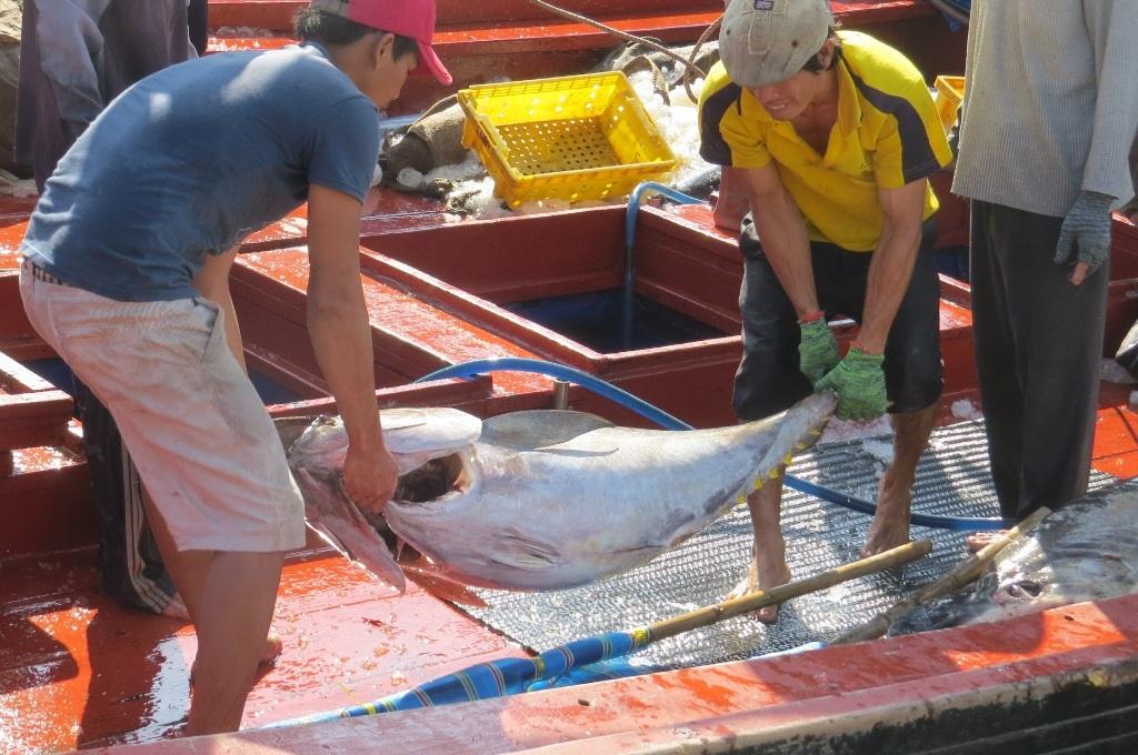 Cá ngừ được mùa, được giá ngư dân sẵn sàng đón Tết trên biển để khai thác cá