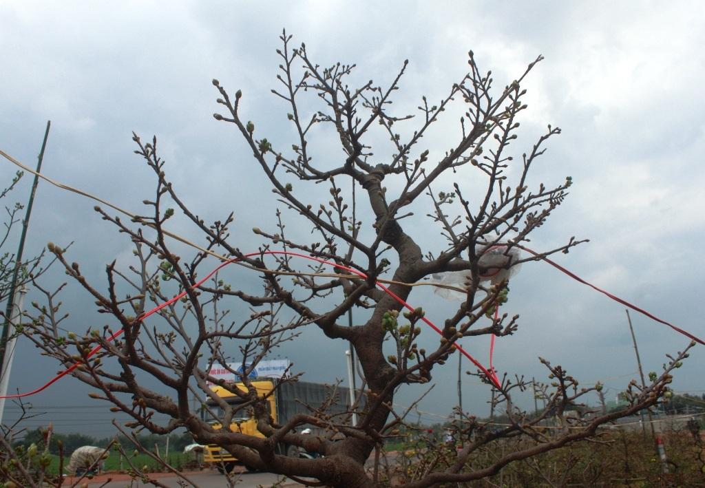 Phần ngọn cây với nụ hoa chi chít