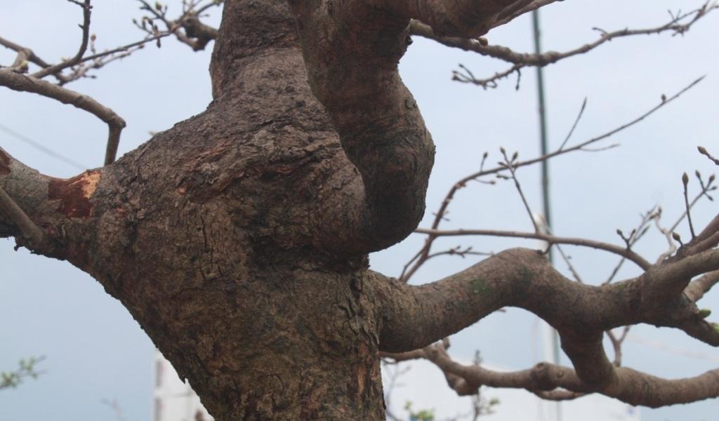 Thân, cánh tay với các u cho thấy sự mạnh mẽ của cây