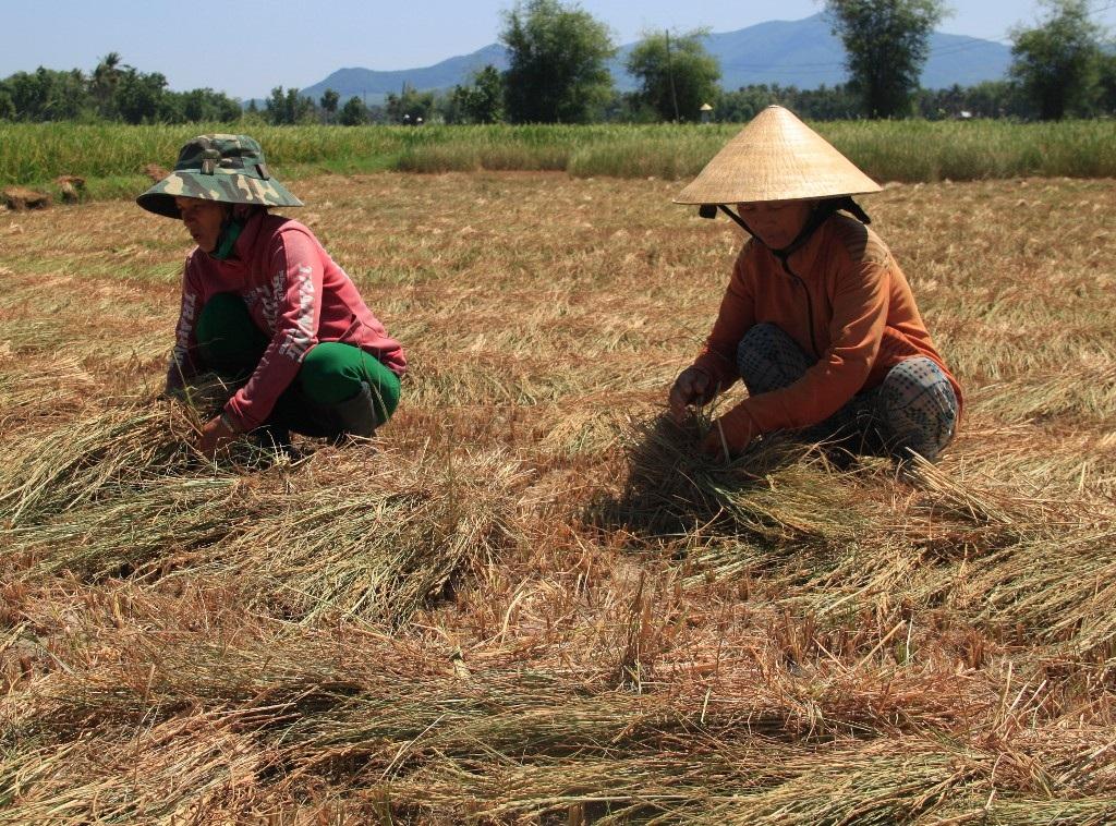 Nắng hạn kéo dài, nông dân cắt lúa cho bò ăn...