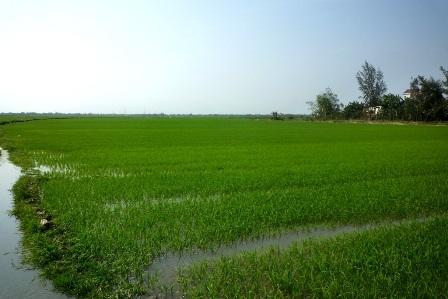 Cánh đồng lúa xã Điện Phương