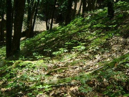 Sâm Ngọc Linh được trồng dưới tán rừng