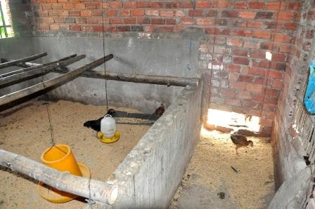 Gà người nghèo được nuôi trong nhà một cán bộ xã Quế An