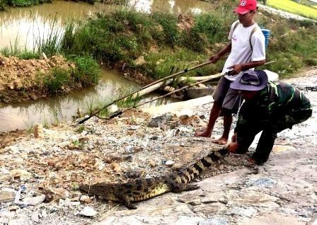 Con cá sấu nằm bên đường bị người dân bắt được. (Ảnh bạn đọc cung cấp)