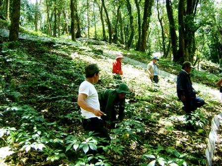 Vườn Sâm Ngọc Linh của người dân trồng ở huyện Nam Trà My