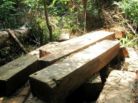 Gỗ ở rừng Cà Nhông bị khai thác trái phép