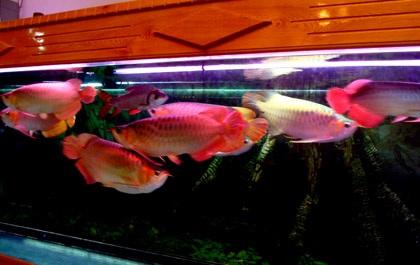 """Những """"cục vàng biết bơi"""" trị giá bạc tỷ ở Hà Nội"""