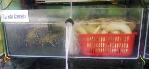 Tu hài được nuôi trong bể dưỡng ở một nhà hàng