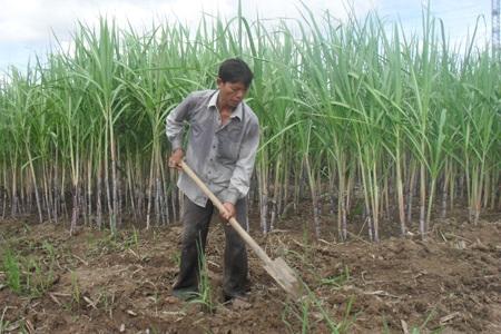 Diện tích đất trồng mía ở Cà Mau ngày càng bị thu hẹp