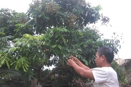 Ông Nguyễn Trí Cung phập phồng lo bên vườn nhãn hứa hẹn sai quả. Ảnh: D.H