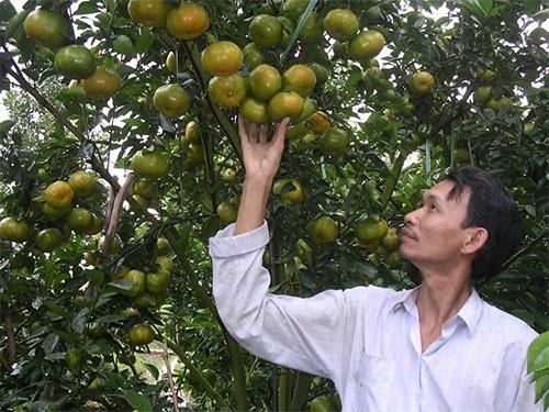 Quýt hồng Lai Vung được nhà vườn chuẩn bị phục vụ thị trường Tết