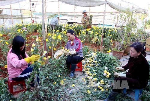 Người dân Đà Lạt thu hoạch hoa (Nguồn: TTXVN)