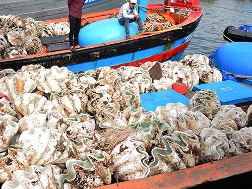 Sò tượng chất đầy trên khoang tàu của ngư dân xã Bình Châu, huyện Bình Sơn, tỉnh Quảng Ngãi