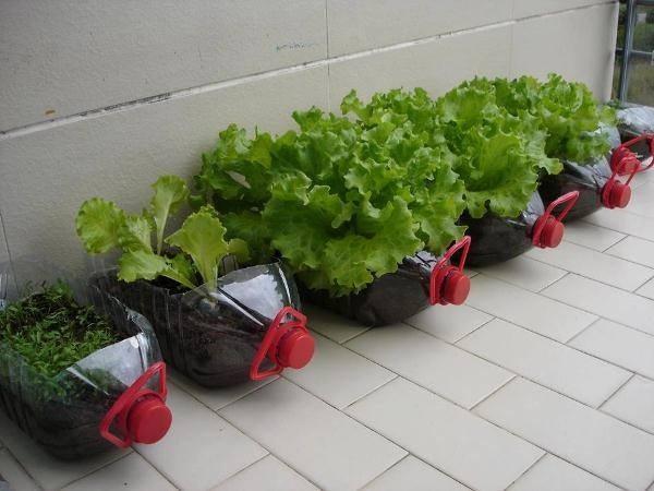 Những chai nhựa lớn thường được tận dụng trồng rau để trên sân thượng