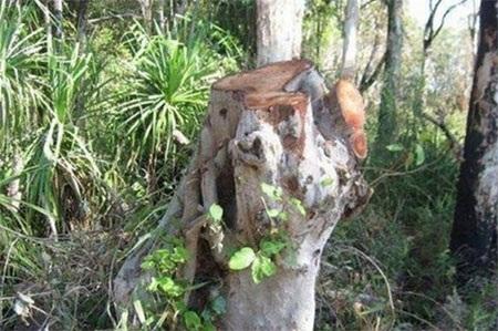 Một gốc cây bị đốn hạ (Nguồn: abc.net.au)