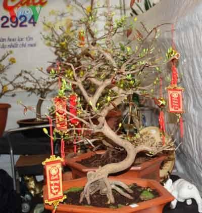 Một cây mai thế vừa được nhập từ Việt Nam sang