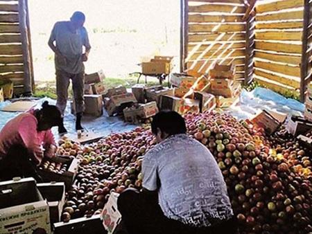Các lao động nhập cư Trung Quốc phân loại cà chua ở Volgograd, Nga