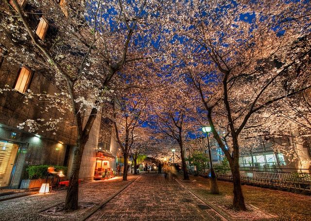 Kyoto là một trong những thành phố nổi tiếng nhất ở Nhật để ngắm hoa anh đào.