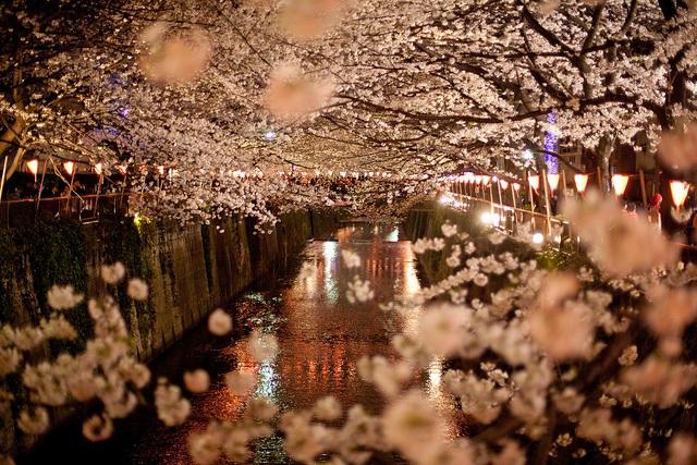 Hoa anh đào dọc bờ sông ở Nakameguro, Tokyo.