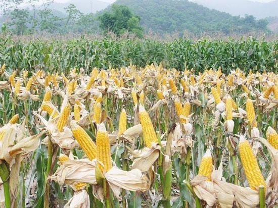 Một giống ngô biến đổi gien được trồng tại Việt Nam cho năng suất rất cao.