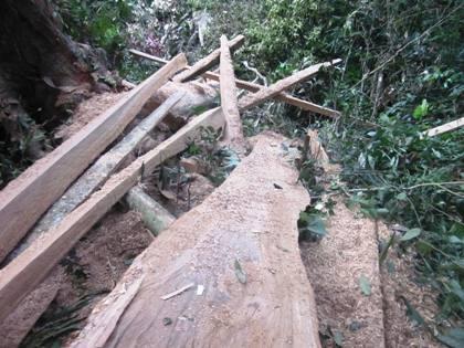 Bài 4: Cần xem xét xử lý hình sự vụ công ty lâm nghiệp phá rừng tại Bắc Giang