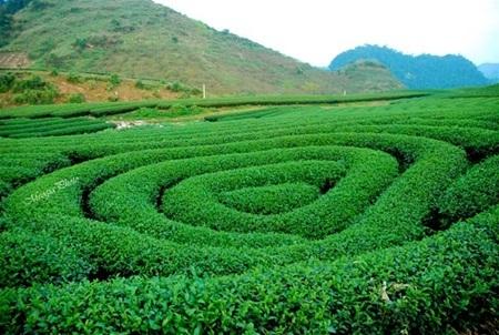 Cao nguyên Mộc Châu không chỉ biết đến với những đồi chè xanh mướt