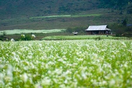 Màu cải trắng thêm tô sắc thơ mộng cho xứ cao nguyên