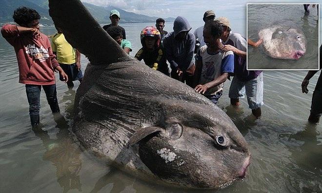 Cá mặt trăng được biết đến là loài cá có xương sống nặng nhất trên thế giới.