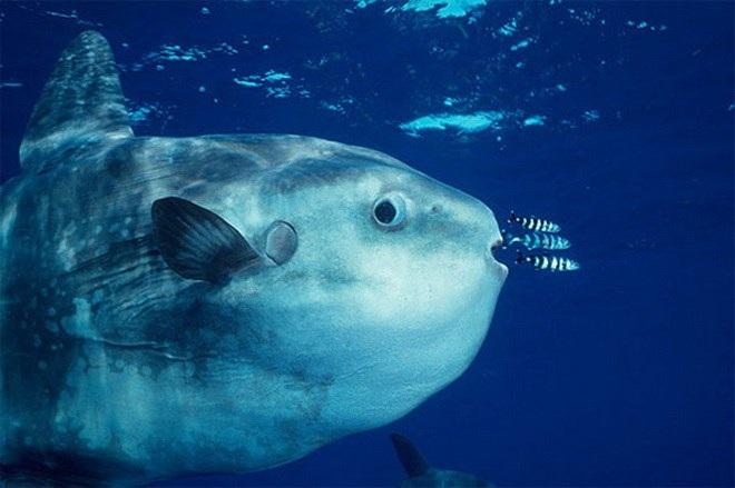 Cá có hình bầu dục tròn.