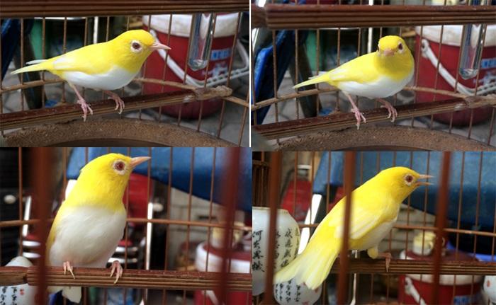 Chim hoàng khuyên đột biến gen của anh Tú có trả giá nửa tỷ đồng cũng không bán.