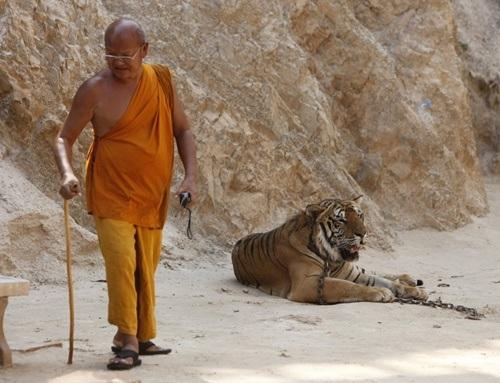 Hổ được thuần hóa trước khi thả rông.