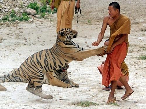 Giây phút chơi đùa cùng hổ.