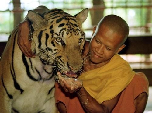 Cho hổ ăn