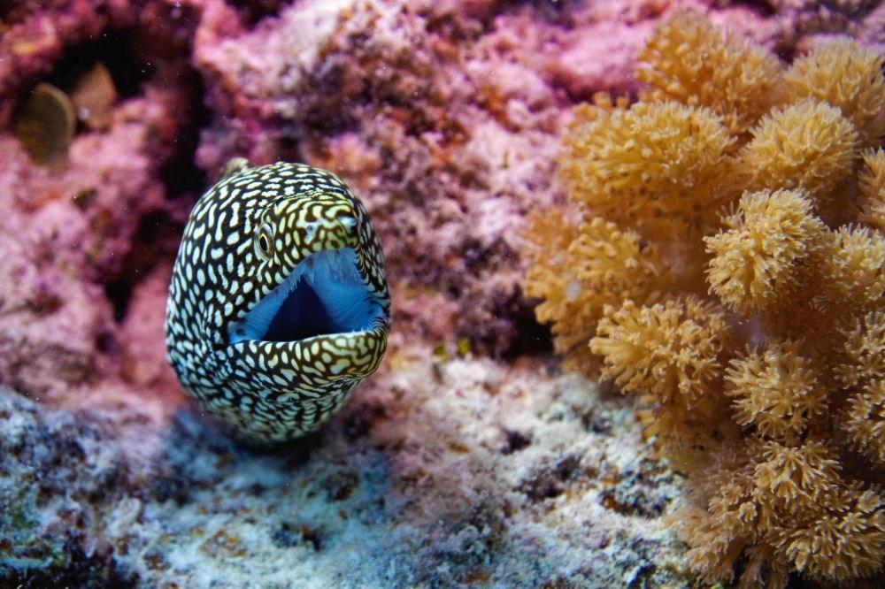 Một con lươn biển ở quần đảo Cocos, Ấn Độ Dương. (Nguồn: Sputniknews)