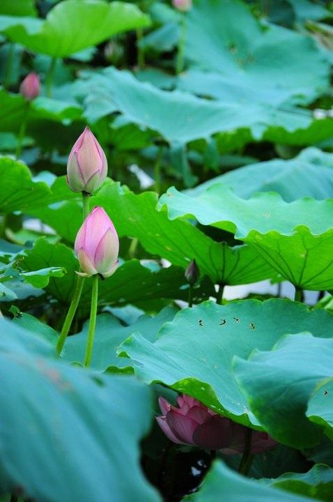Những nụ hoa e ấp tô điểm cho Hồ Tây buổi sớm.