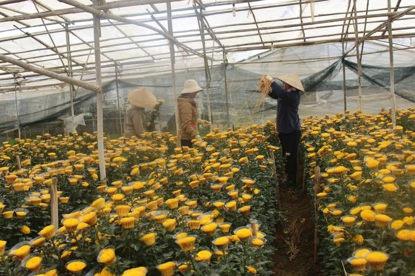 Hàng trăm triệu cành hoa cúc cung cấp cho thị trường hoa Tết