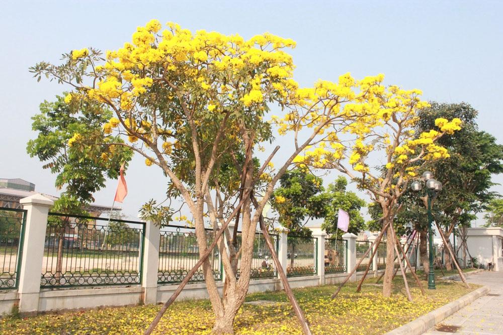 Những cây chuông vàng nở hoa vàng rực tại trụ sở Hội đồng Nhân dân TP Huế