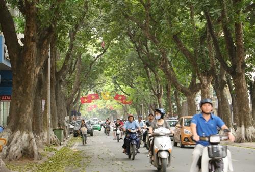 Hàng cây sấu và hoa sưa trên đường Phan Đình Phùng