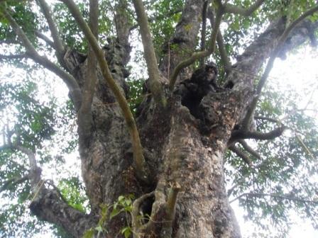 Kỳ bí 2 cây cổ thụ tương truyền gần 800 năm tuổi