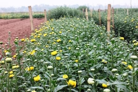 Một số ruộng hoa Cúc nở sớm.