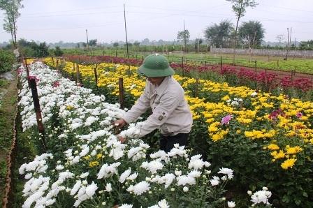 Hoa trồng phục vụ cho dịp mồng 1 và rằm tháng Chạp.