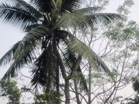 Cây dừa có tới 7 ngọn kỳ lạ ở Thanh Hóa, hiện nay chỉ còn lại 2 ngọn, một ngọn vẫn xanh tốt.