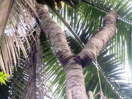 Hai ngọn còn lại của cây dừa nối vào thân cây,