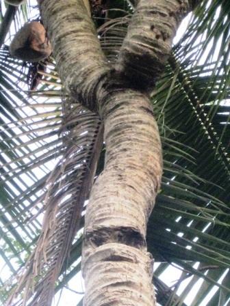 Các vét sẹo rõ nét nơi về nơi 5 ngọn trước của cây dừa đã bị gãy.