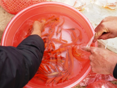 Cá chép đỏ được người dân ưa chuộng.