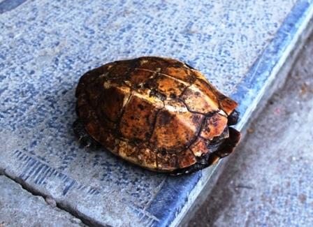 Con rùa vàng xuất hiện dưới chân núi Trường Sinh, xã Cẩm Lương, huyện Cẩm Thủy.