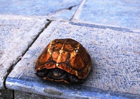 Con rùa có gộp màu vàng và nặng gần 700gram.