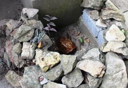 Ban ngày, người gác đền đưa rùa ra hốc đá để người dân và du khách đến ngắm.