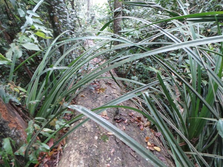 Những cây gỗ có đường kính khoảng 50cm, dài hơn chục m đã bị đốn hạ còn nằm lại trong rừng.