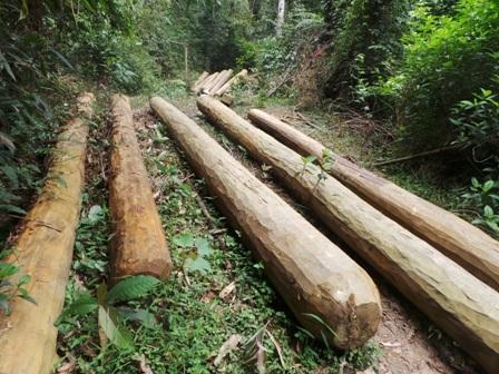 Gỗ được tập kết ra gần bìa rừng.